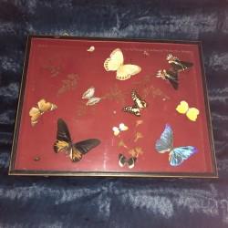 Papillons et insectes sous verre | Entomologie | Cabinet de curiosité